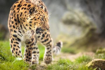 Amur Leopard (Panthera pardus orientalis)