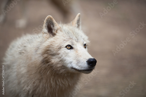 Poster Wolf Arctic Wolf (Canis lupus arctos) aka Polar Wolf or White Wolf -
