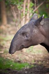 Malayan Tapir, also called Asian Tapir