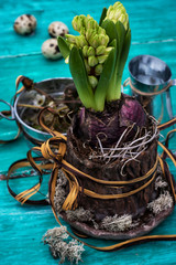 hyacinth flower in a flowerpot