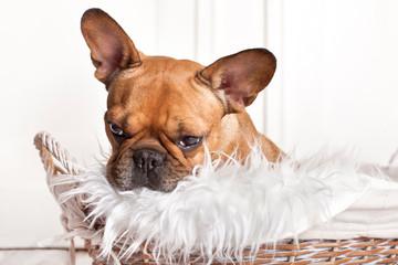 kleiner Hund im Körbchen