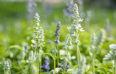 asia lavender flowers