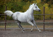 Spotted white horse in running pose