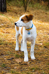 young Istrian Shorthaired Hound dog standing in wood