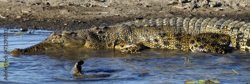 Plexiglas Krokodil Saltwater Crocodile