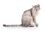 gray striped tabby cat