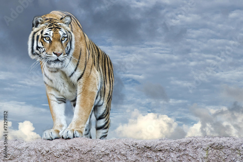 Siberian tiger ready to attack looking at you - 73291152