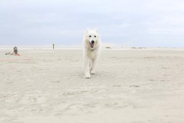 white shepherd on the beach