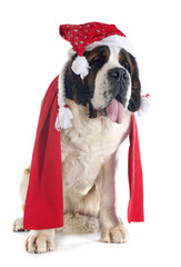 Saint Bernard and scarf