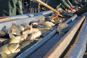 Freshwater fish sorting