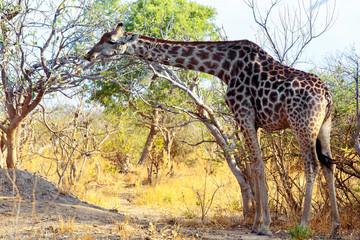 adult giraffe grazing on tree