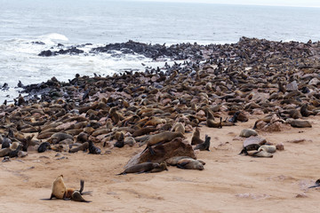 huge colony of Brown fur seal - sea lions in Namibia