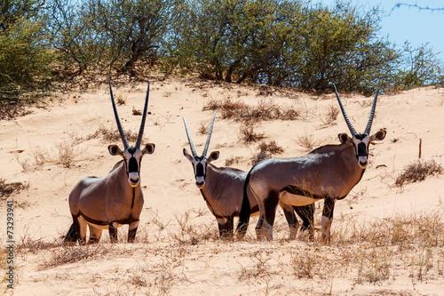 Plexiglas Antilope Gemsbok, Oryx gazella on sand dune