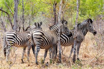 Zebra foal in african tree bush.
