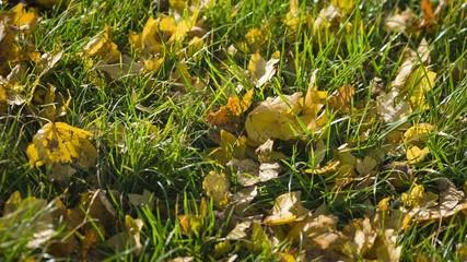 Gelbe Blätter auf grüner Wiese raw video