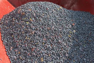 Les grains de raisins sont dans la cuve rouge