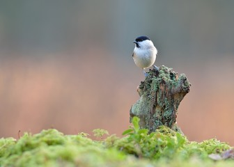 Willow tit on the mossy tree