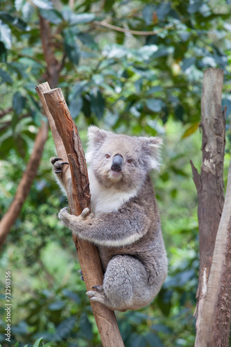 Aluminium Koala Portrait of Koala sitting on a branch