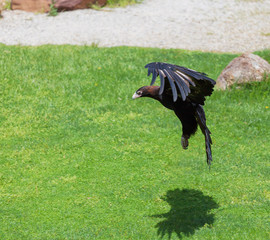 Wedge-tailed Eagle preparing to attack