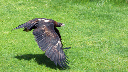 Wedge-tailed Eagle flying low above grass