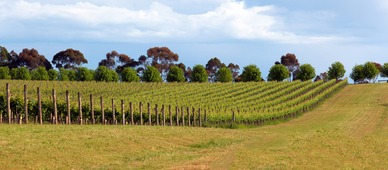 Vineyard in Yarra Valley, Australia