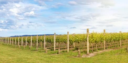 Vineyard in Yarra Valley, Australia