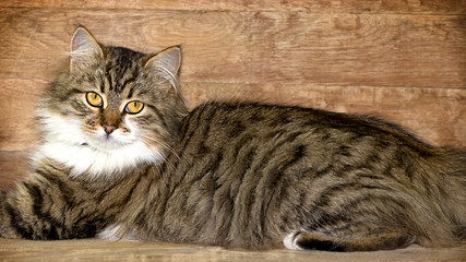 Cat - Maine Coon (main coon) posing