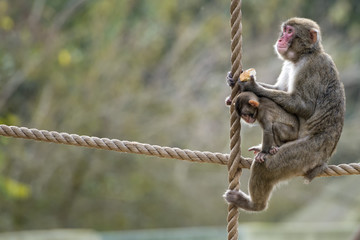 japanese macaque monkey portrait