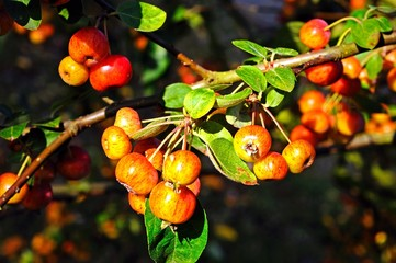 Crab apples ripening on tree © Arena Photo UK