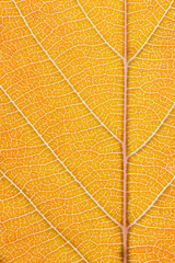 Macro shot of the lamina of a tree leaf turning orange