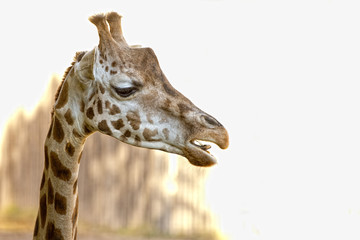 Isolated giraffe close up portrait while eating