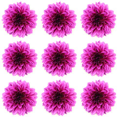 dahlia isolated on a white background