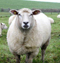 Sheep in a summer landscape.