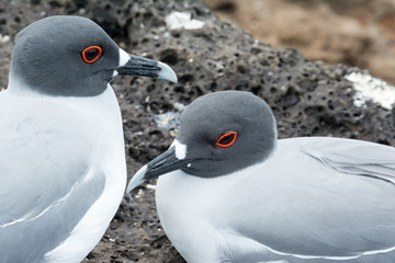 swallow-tailed Gulls on the Galapagos Islands