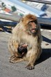 Barbary apes, Gibraltar © Arena Photo UK