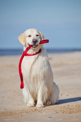 beautiful dog holding a leash in his mouth