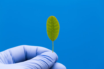 leaf of genetically modified plants in the hand of the scientist