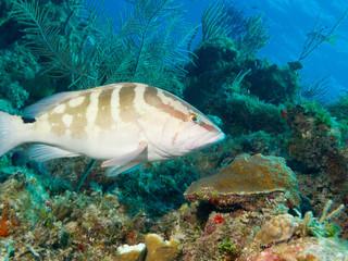 Nassau grouper (Epinephelus striatus) undersea