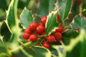 holly branch close up
