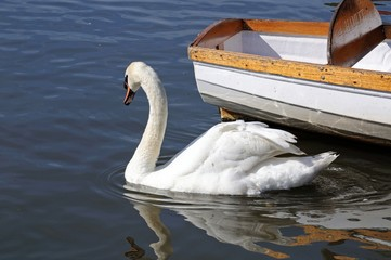 Mute swan on the river Avon © Arena Photo UK