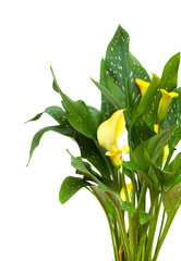 yellow calla plant