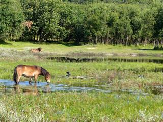Wildpferde im Dünengebiet Het Woud Niederlande
