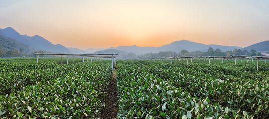tea plant garden in rural area