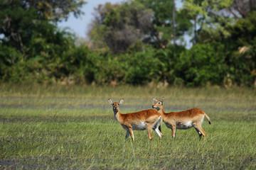 Rote Lechwe Antilopen im Okavango Delta, Botswana