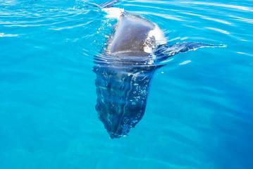 Humpback Whale underwater in Hervey bay, Queensland, Australia
