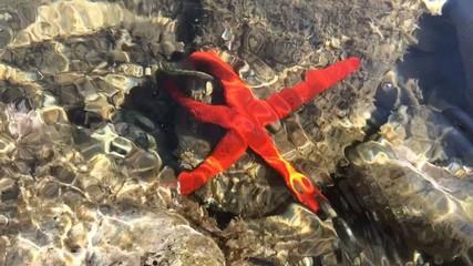 stella di mare rossa