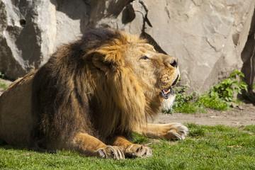 Liggende grommende leeuw.