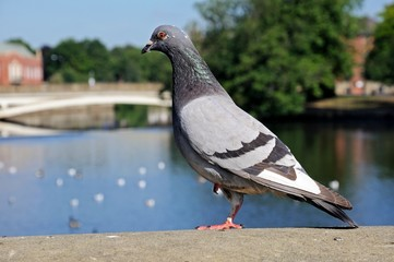 Pigeon standing on a wall © Arena Photo UK