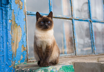 Graceful Siamese cat with blue eyes sitting at the old window