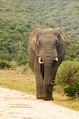 Elephant walking down a gravel road